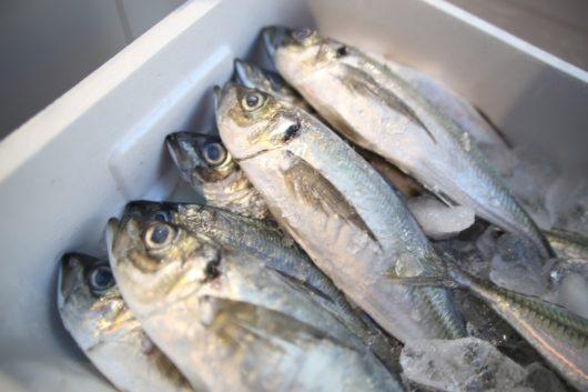 みらいママ講座 魚のさばき方 アジ 鯵 鮮魚アオキ 西新井 イオン ぎゃラクシティ とんがりキッチン