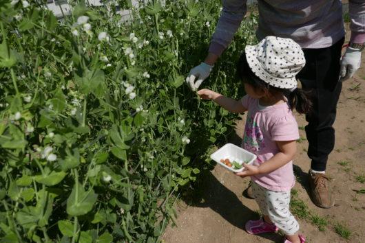 食育 収穫 野菜 足立区